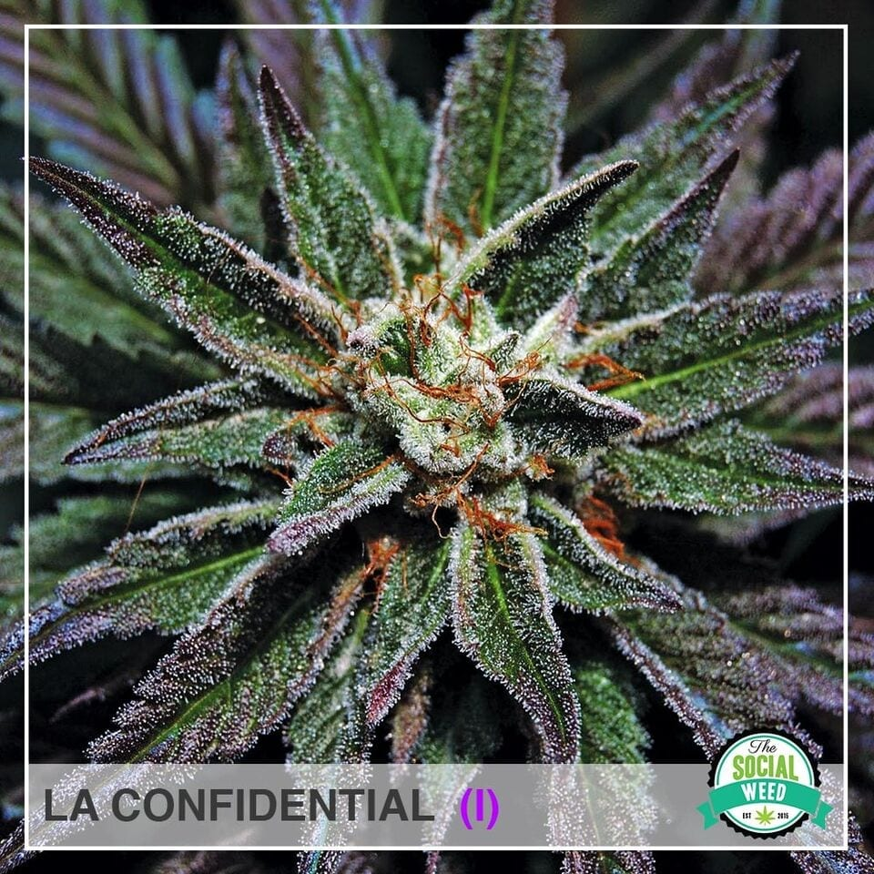 The Social Weed, Best source for all things Cannabis