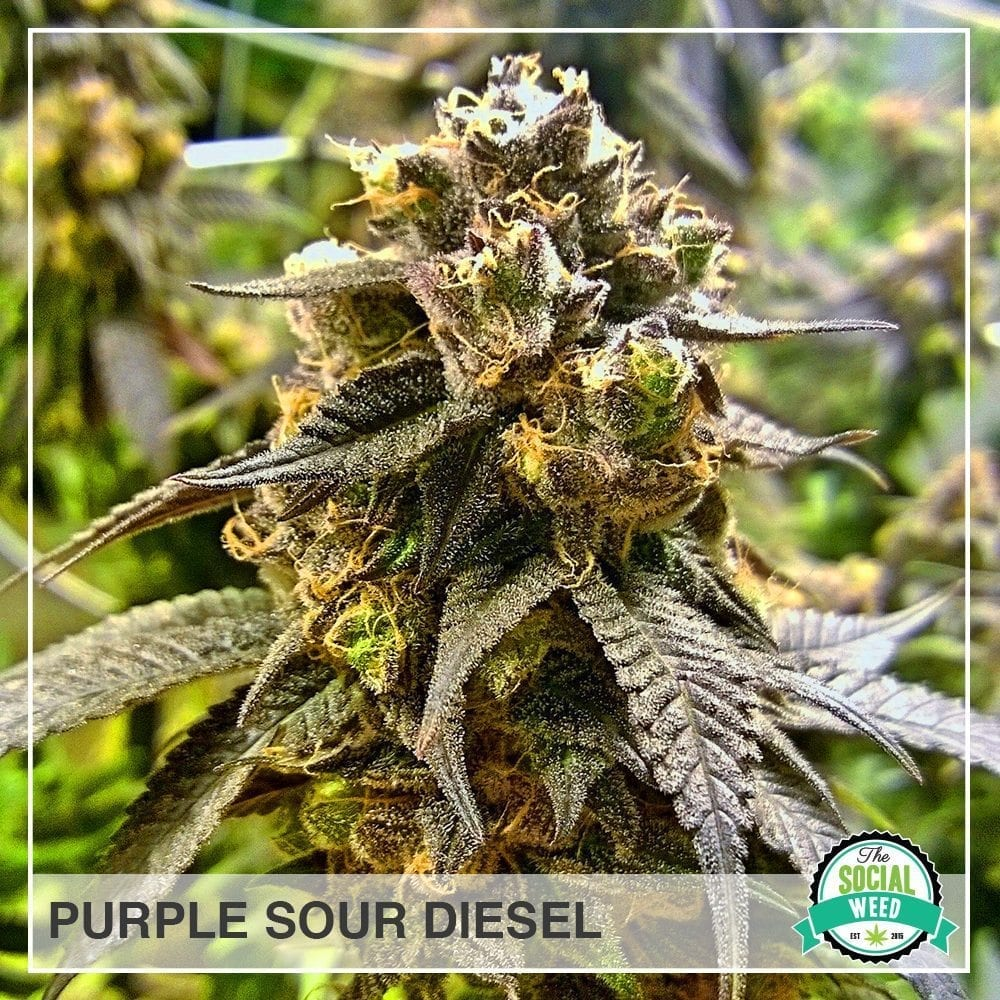 purple sour diesel
