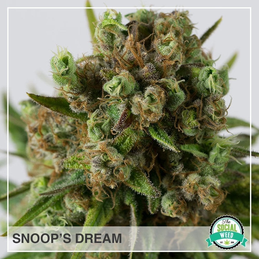 snoops dream