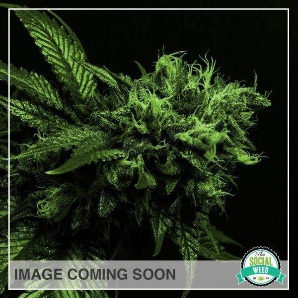Sativa Generic Image
