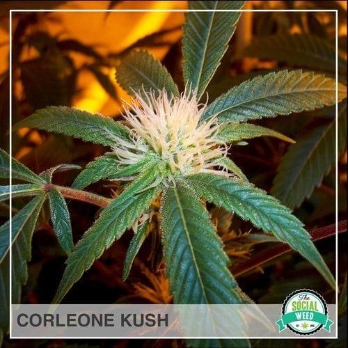 Corleone Kush