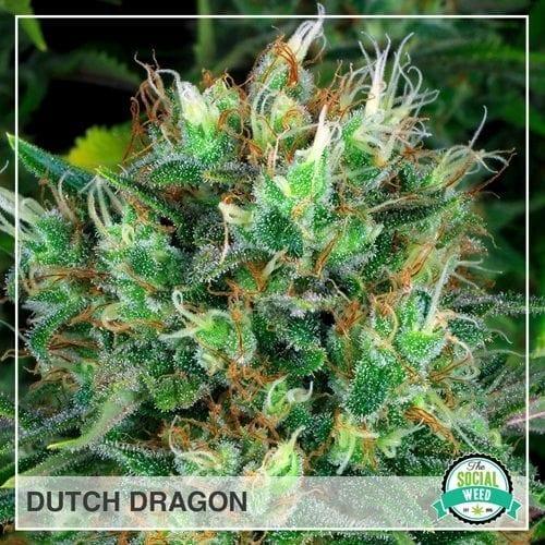 Dutch Dragon