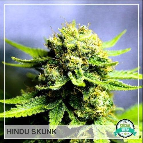 Hindu Skunk