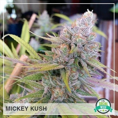 Mickey Kush