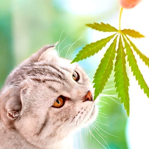 Cannabis and cat